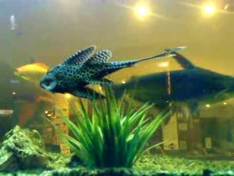 Karaoke fish at Venezia.