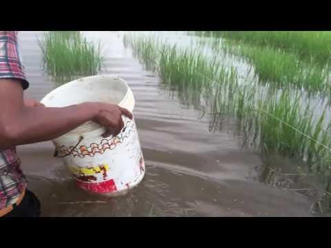 KEREN!! Menjaring Ikan Betok Papuyu Dan Kepiting Sawah Yuyu