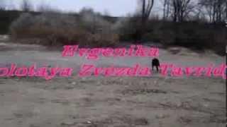 Chesapeake Bay Retriever- Evgenika Zolotaya Zvezda Tavridy. 5 месяцев.