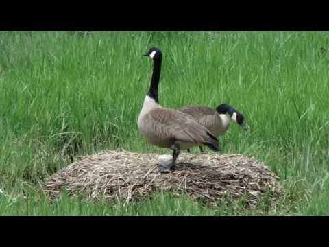 Geese Bird  May 23 Hd Rhode Island 2013 RI