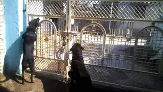 Shivay dog Training Centre, Morshi, Amravati. Trainer Prashant Chare(9552781420) .
