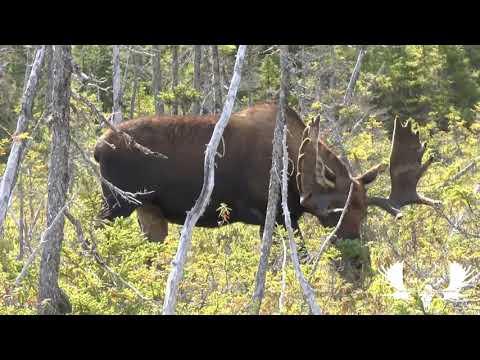 Record book moose hunt, Newfoundland, Canada.