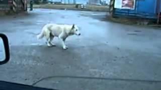 Tańczący pies HIT INTERNETU / śmieszne