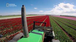 Zobacz dlaczego rolnicy niszczą kwiaty tulipanów [Europa z powietrza]