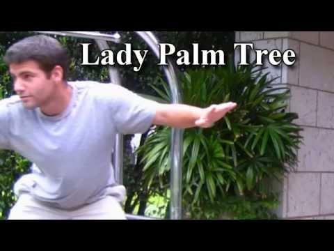 *Lady Palm Tree* +Raphis excelsa+GA, FL & TX+Outdoor Planting+