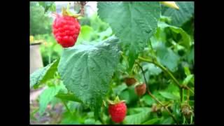 Happy Summer #4 - Малина красная(В этом видео будет разговор о малине красной, которая растет у меня в саду. Видео было снято две недели наза..., 2013-08-05T13:22:13.000Z)