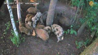 Lochy z młodymi w karmisku w lesie na Podkarpaciu