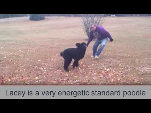 Standard Poodles Are High Energy and Playful!
