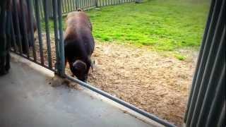 Houston Livestock Show and Rodeo - Duroc, Swine, Barrow raised for 2013 Show