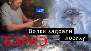 Волки в Якутии задрали лосиху В гостях у Ивановых Река Амга