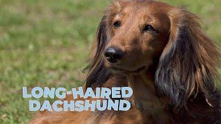 LongHaired Dachshund Dog Breed