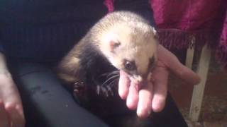 Хорек.The ferret is eating butte няша 🍓