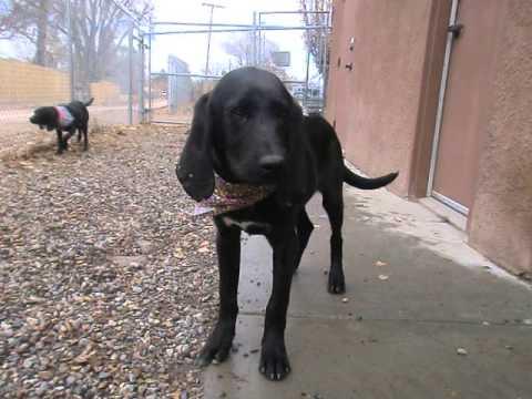 cute plott hound dog - photo #27