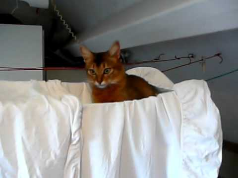Young rudy Somali cat playing in laundry hammock
