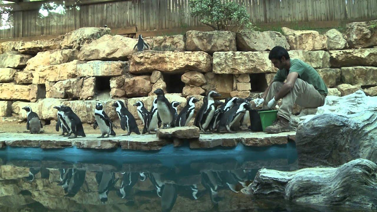 מגזו- פינגווין
