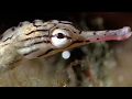 Breeding Habits Of The Banded Pipefish - Blue Planet - BBC Earth