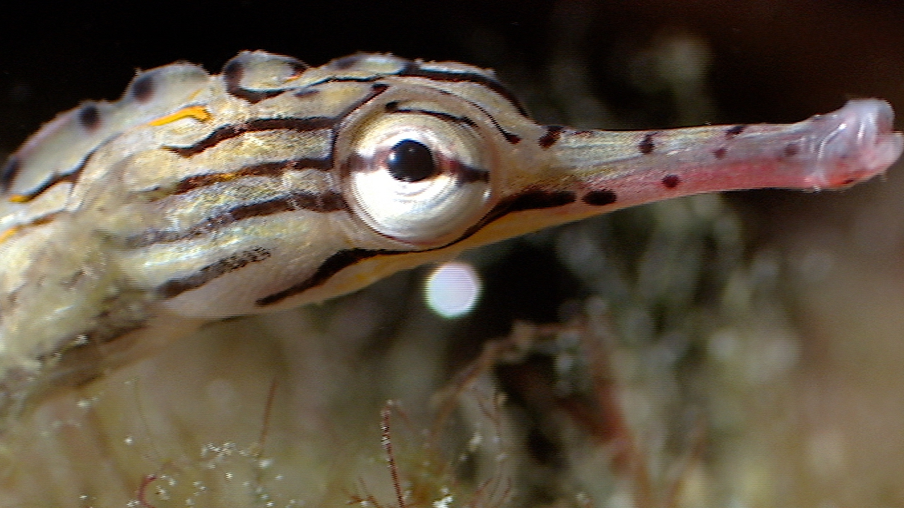 Breeding Habits Of The Banded Pipefish | Blue Planet | BBC Earth