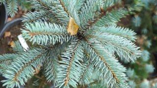 Подготовка хвойных растений к зиме
