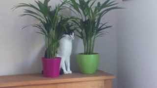 Kitten Anna eating areca palm plants