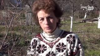 видео Почему на кустах помидоров закручиваются листья