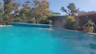 Sesame The Dachshund Jumping Into The Pool
