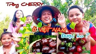 Trồng cherry ở Việt Nam #Người_Trà_Vinh CÁCH TRỒNG CÂY CHERRY XEN VƯỜN BƯỞI DA XANH Ở VIỆT NAM!