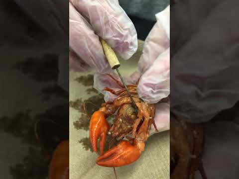 Arthropoda: Crayfish Dissection (external Appendage Focus)
