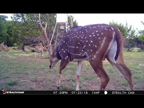 ARCHERY HUNTING AXIS DEER IN TEXAS | THEY'RE STARTING TO SHOW UP!