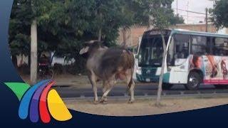 Escapan dos toros del Rastro Municipal de Guadalajara | Noticias de Guadalajara