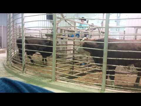 Texas cattle auction(1)