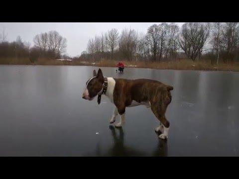 Бультерьер на прогулке(Bull Terrier for a walk)