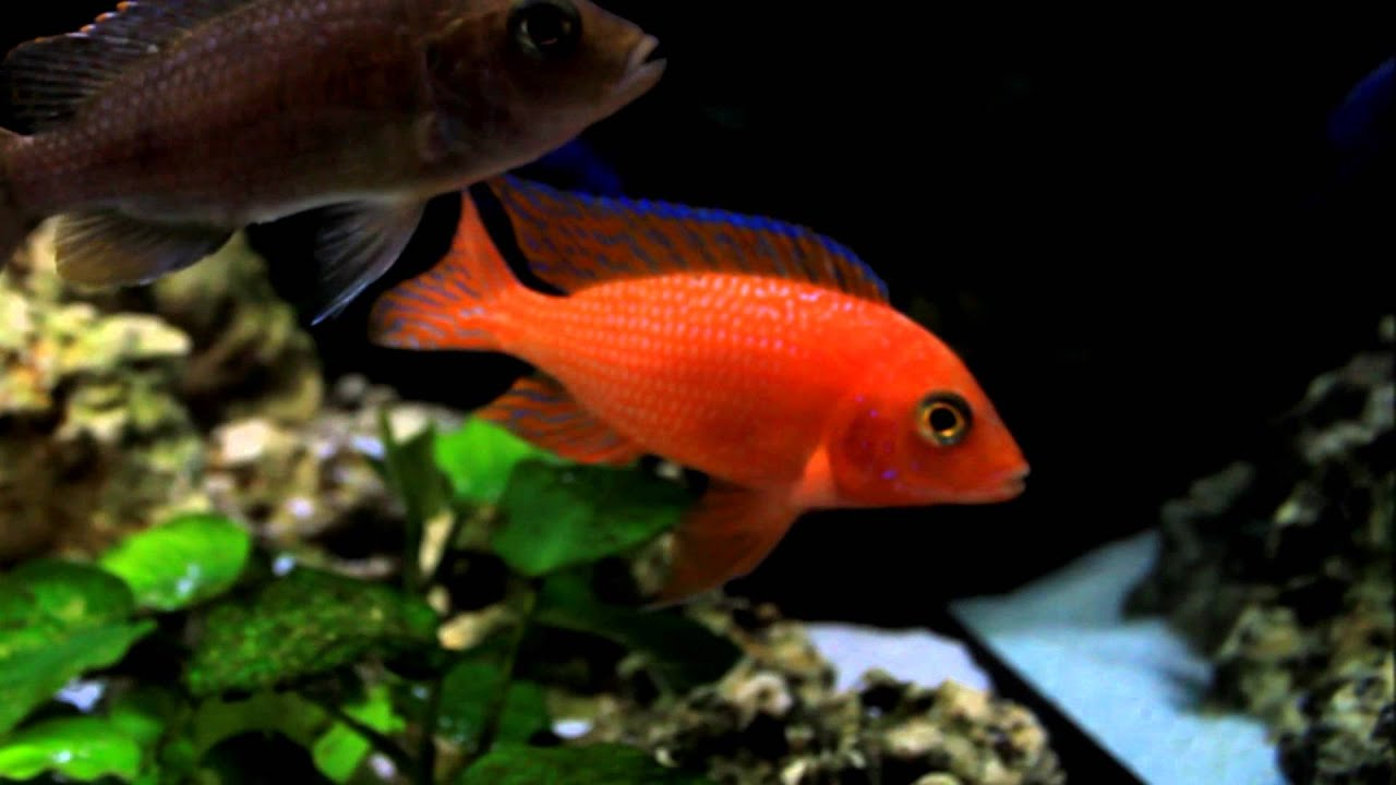 Aulonocara Firefish/dragonblood/Coral Red African cichlids - YouTube