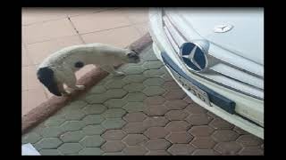 Cats Fighting Over a Mercedes!