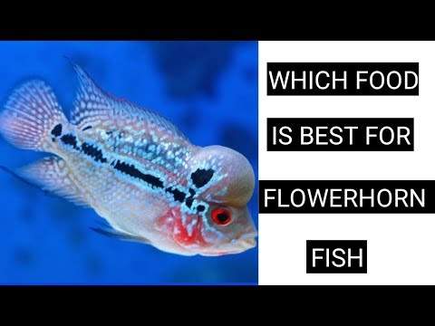 Which Food Is Best For Flowerhorn Fish