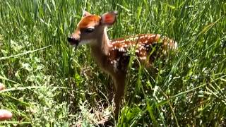 Baby Deer or Baby Bambi, a Fawn Found In a Field.