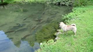 最近うちのパグちゃんが鯉で遊ぶことを学びましたー!