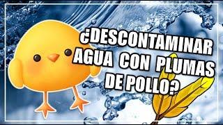 ¿Descontaminar el agua con plumas de pollo? | CIENCIA A LA MEXICANA