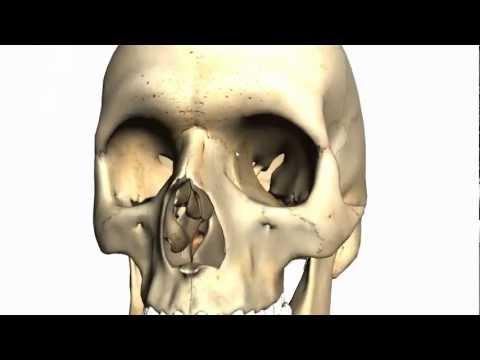 Skull tutorial (2) - Bones of the facial skeleton - Anatomy Tutorial PART 1