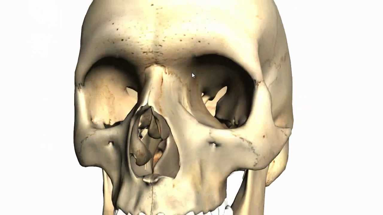 skull tutorial 2 bones of the facial skeleton anatomy tutorial part 1 youtube [ 1280 x 720 Pixel ]