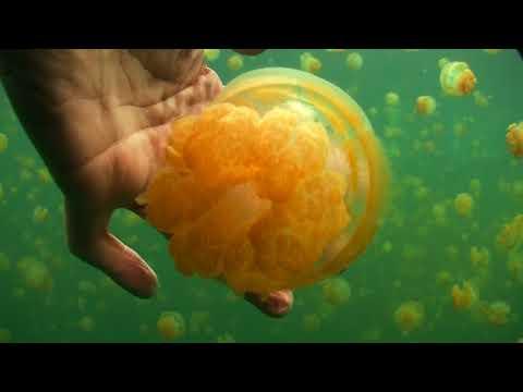 Palau  Micronesia Jelly Fish Lake June Paul Ranky HD Video