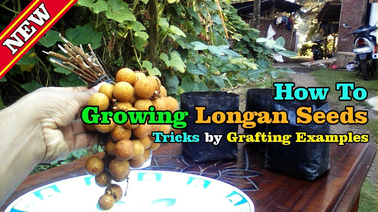 How To Growing Longan From Seeds With Quickly Method By Grafting Examples