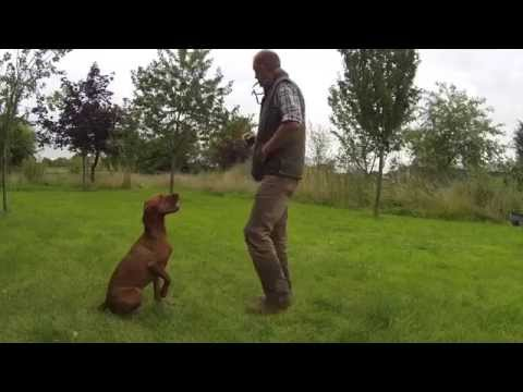 Residential Gundog Training retrieving a dummy with a Hungarian Vizsla - Tessleymoor Gundogs