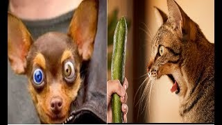 Śmieszne zwierzęta Psy i koty | Strach przed zwierzętami | Staraj się nie śmiać
