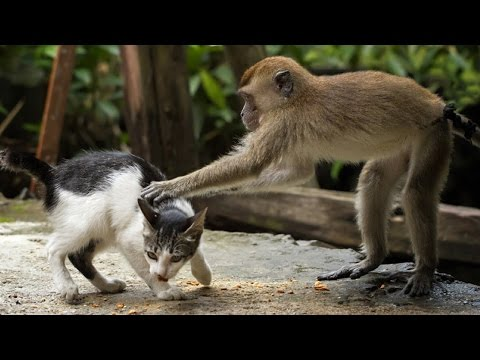 MONKEYS Vs CATS | Funny Videos of Animal Compilation