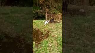 四国プリンス犬舎は、絶滅寸前の狩猟犬純血サツマビーグルの保存普及活...