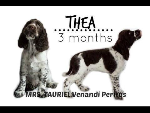Thea - English Springer Spaniel | 3 months