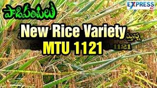 Good Results in New Rice Variety MTU 1121 : Paadi Pantalu | ExpressTV