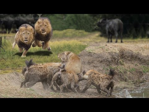 HYENAS BIG MISTAKE PROVOKED LIONESS   MALE LION AS A HERO WHO HYENAS TO SAVE LIONESS