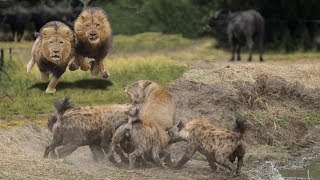 HYENAS BIG MISTAKE PROVOKED LIONESS | MALE LION AS A HERO WHO HYENAS TO SAVE LIONESS thumbnail