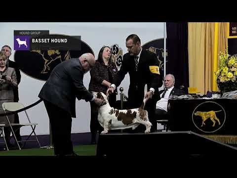 Basset Hounds | Breed Judging 2019